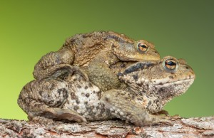 piggyback frogs public domain